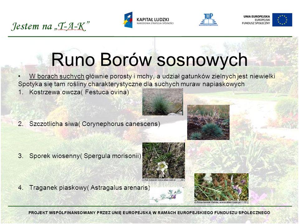 W borach świeżych zarówno warstwa zielna jak i mszysta runa jest dobrze rozwinięta Borówka czernica( Vaccinium myrtillis) Borówka brusznica( Vaccinium vitis- idaea) Siódmaczek leśny( Trientalis europaea) Pomocnik baldaszkowaty( Chimaphila umbelata) Pszeniec zwyczajny( Melampyrum pratense) Śmiałek pogięty( Deschampsia flexuosa) Widłaki: jałowcowaty( Lycopodium annotinum),goździsty( L.