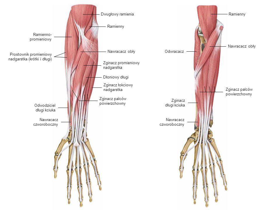 Nawracacz obły Dłoniowy długi Zginacz promieniowy nadgarstka RamiennyDwugłowy ramienia Nawracacz obły Ramienno- promieniowy Prostownik promieniowy nad