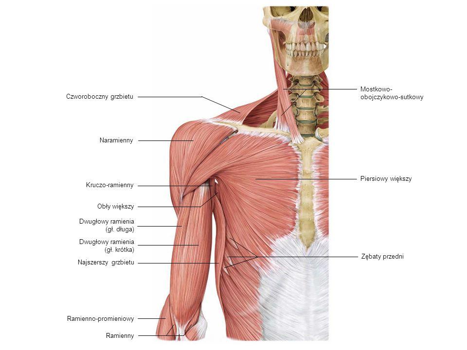 Dwugłowy ramienia (gł. długa) Czworoboczny grzbietu Kruczo-ramienny Ramienny Piersiowy większy Zębaty przedni Dwugłowy ramienia (gł. krótka) Mostkowo-