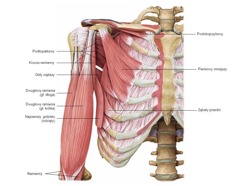 Dwugłowy ramienia (gł. długa) Podłopatkowy Kruczo-ramienny Ramienny Piersiowy mniejszy Zębaty przedni Dwugłowy ramienia (gł. krótka) Podobojczykowy Ob