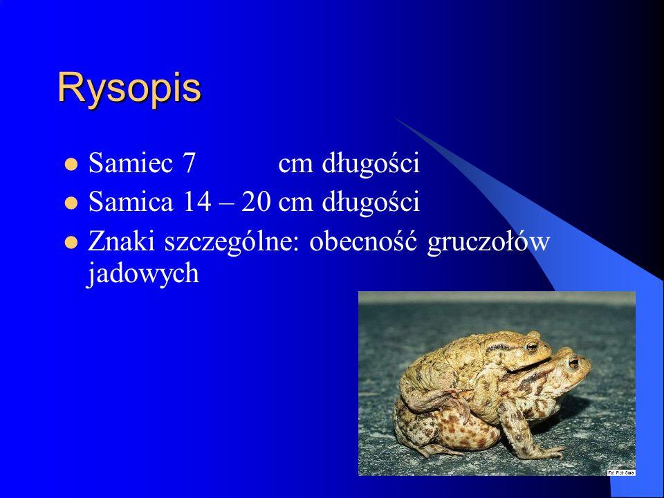 Rysopis Samiec 7 cm długości Samica 14 – 20 cm długości Znaki szczególne: obecność gruczołów jadowych
