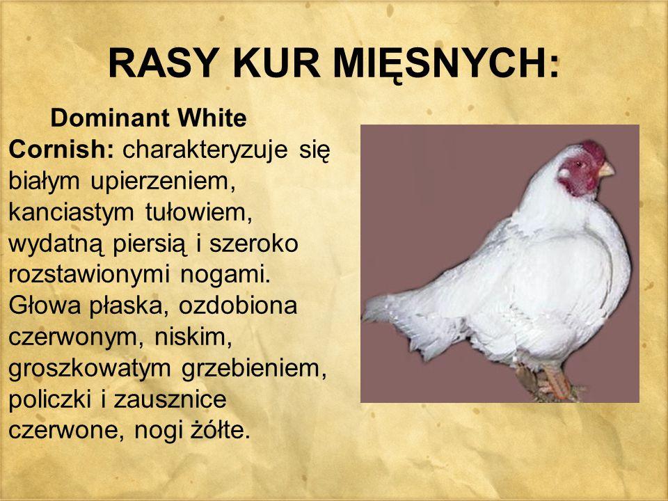 RASY KUR MIĘSNYCH: Dominant White Cornish: charakteryzuje się białym upierzeniem, kanciastym tułowiem, wydatną piersią i szeroko rozstawionymi nogami.