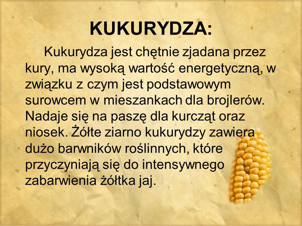 KUKURYDZA: Kukurydza jest chętnie zjadana przez kury, ma wysoką wartość energetyczną, w związku z czym jest podstawowym surowcem w mieszankach dla bro
