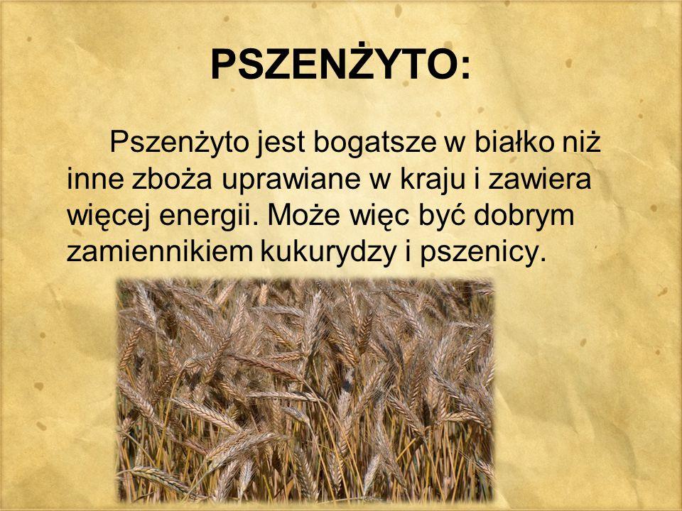 PSZENŻYTO: Pszenżyto jest bogatsze w białko niż inne zboża uprawiane w kraju i zawiera więcej energii. Może więc być dobrym zamiennikiem kukurydzy i p