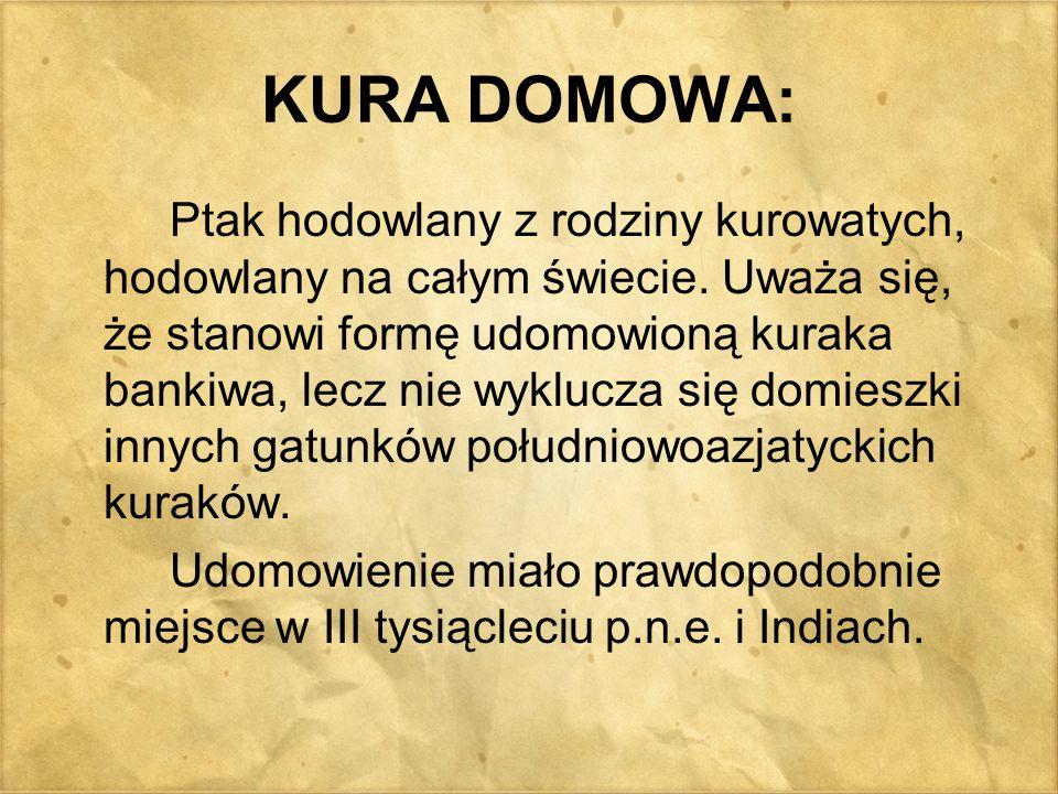 TYPY UŻYTKOWE KUR – kury amatorskie Bojowice - rasy hodowane ze względu na swoją siłę i agresywność.
