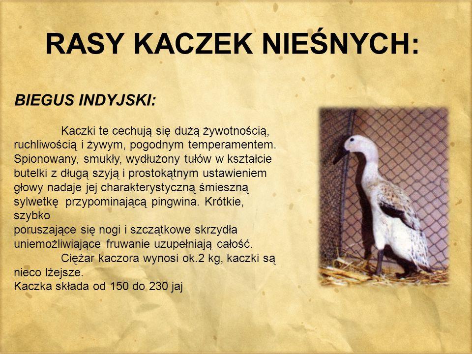 RASY KACZEK NIEŚNYCH: BIEGUS INDYJSKI: Kaczki te cechują się dużą żywotnością, ruchliwością i żywym, pogodnym temperamentem. Spionowany, smukły, wydłu