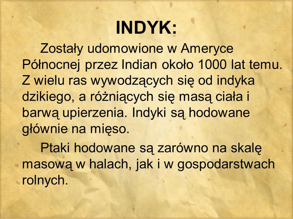INDYK: Zostały udomowione w Ameryce Północnej przez Indian około 1000 lat temu. Z wielu ras wywodzących się od indyka dzikiego, a różniących się masą