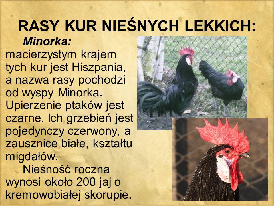 RASY KUR NIEŚNYCH LEKKICH: Minorka: macierzystym krajem tych kur jest Hiszpania, a nazwa rasy pochodzi od wyspy Minorka. Upierzenie ptaków jest czarne