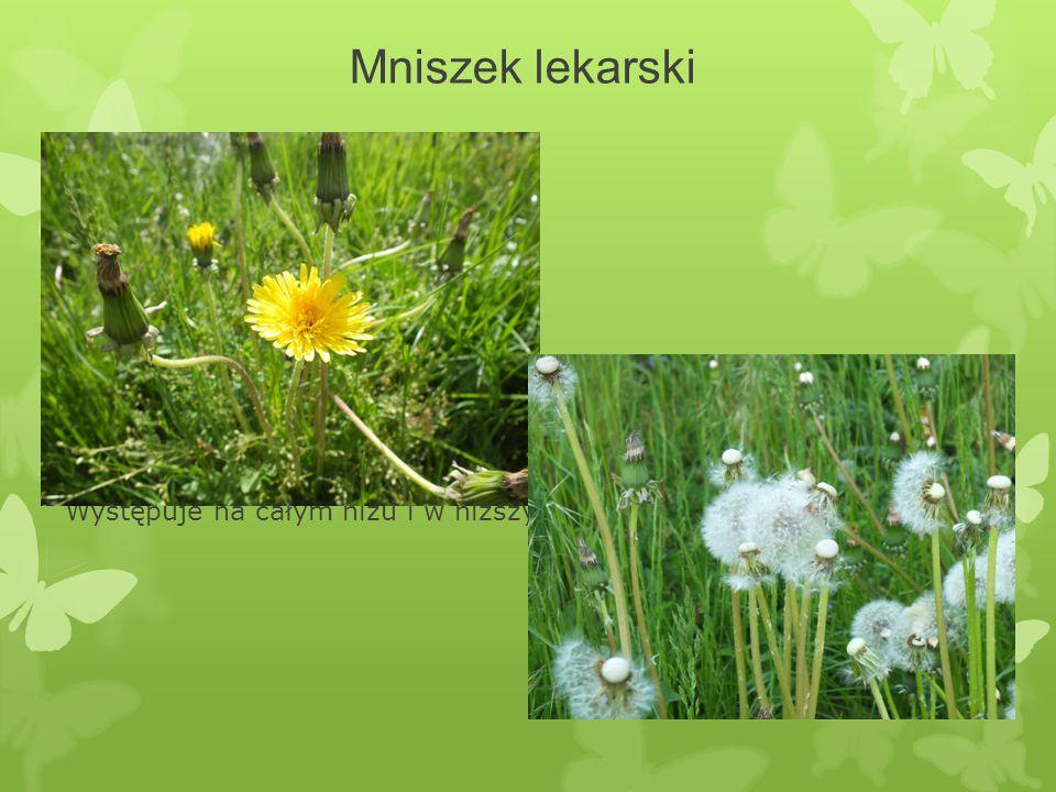 Mniszek lekarski Położenie: Gatunek kosmopolityczny, w Polsce jest rośliną bardzo pospolitą. Występuje na całym niżu i w niższych położeniach górskich