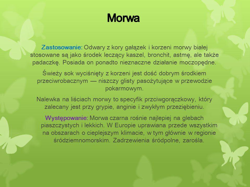 Zastosowanie: Odwary z kory gałązek i korzeni morwy białej stosowane są jako środek leczący kaszel, bronchit, astmę, ale także padaczkę. Posiada on po