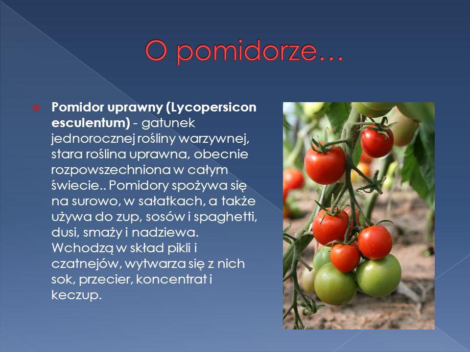  Pomidor uprawny (Lycopersicon esculentum) - gatunek jednorocznej rośliny warzywnej, stara roślina uprawna, obecnie rozpowszechniona w całym świecie..