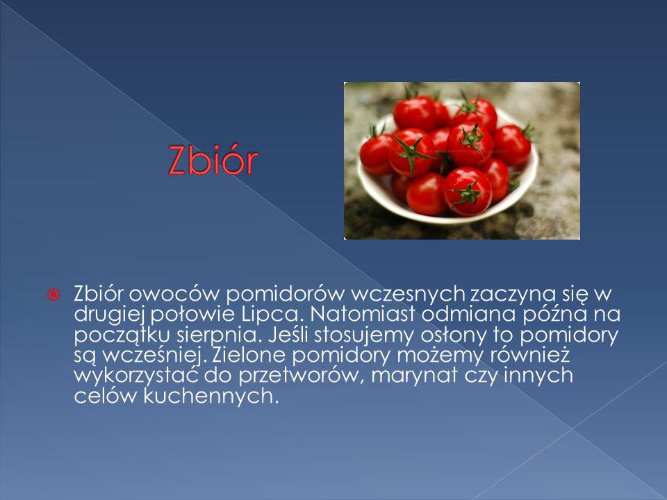  Zbiór owoców pomidorów wczesnych zaczyna się w drugiej połowie Lipca.
