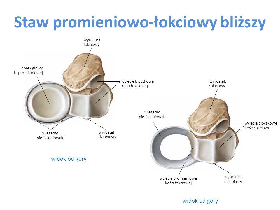 Staw promieniowo-łokciowy bliższy widok od góry wcięcie promieniowe kości łokciowej więzadło pierścieniowate wcięcie bloczkowe kości łokciowej wcięcie