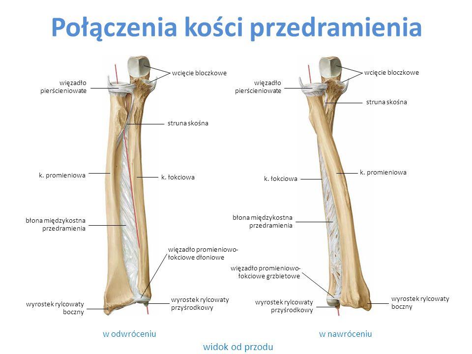 Połączenia kości przedramienia widok od przodu w odwróceniuw nawróceniu k. łokciowa struna skośna k. promieniowa wcięcie bloczkowe k. promieniowa k. ł