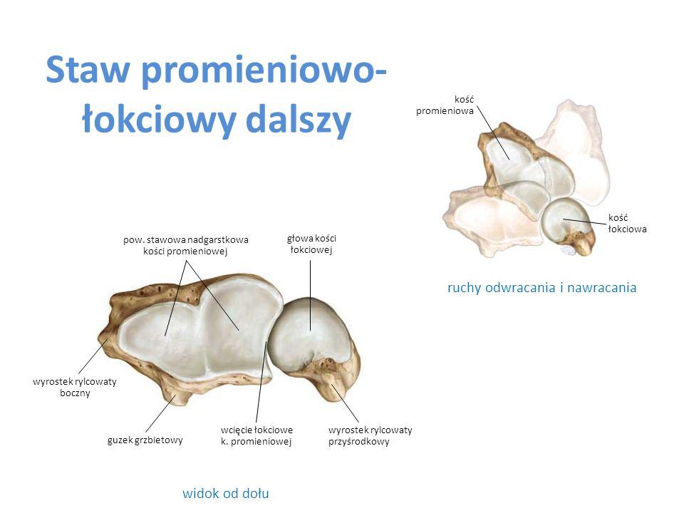 Staw promieniowo- łokciowy dalszy widok od dołu ruchy odwracania i nawracania głowa kości łokciowej kość promieniowa pow. stawowa nadgarstkowa kości p