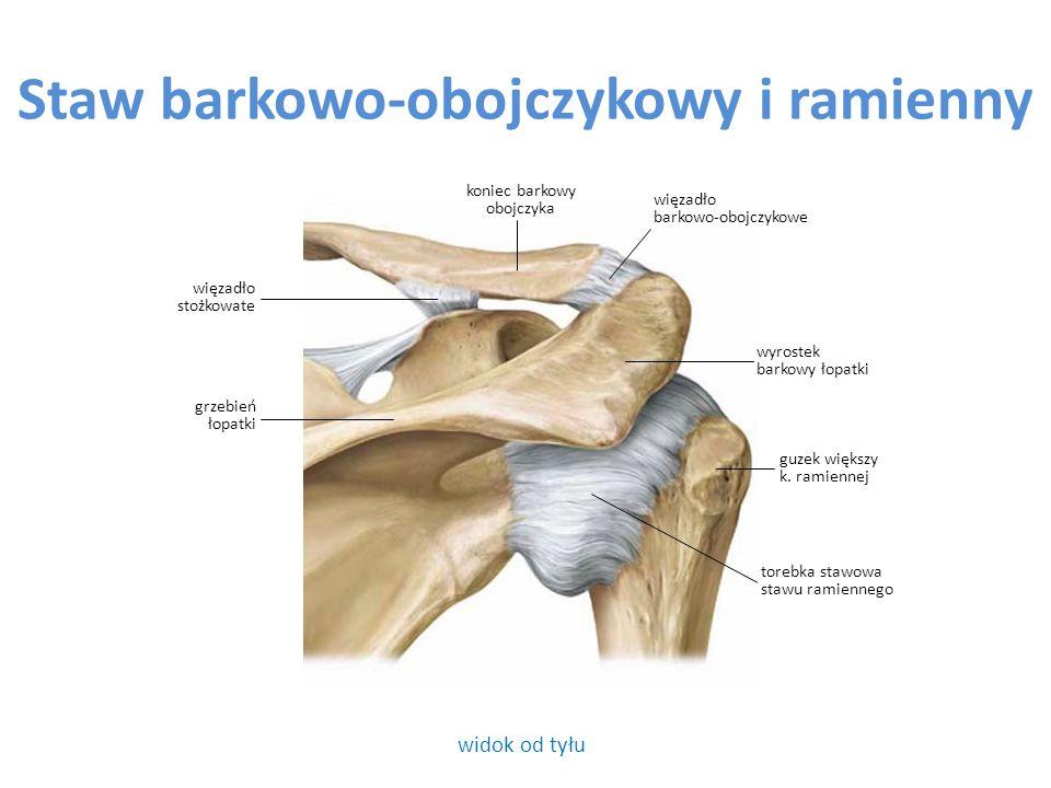 Staw promieniowo-nadgarstkowy widok od dołu kości przedramienia i z góry kości szeregu bliższego nadgarstka krążek stawowy pow.