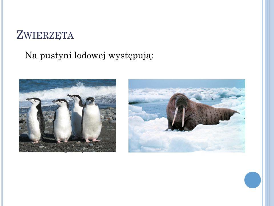 Z WIERZĘTA Na pustyni lodowej występują: PingwinyMors