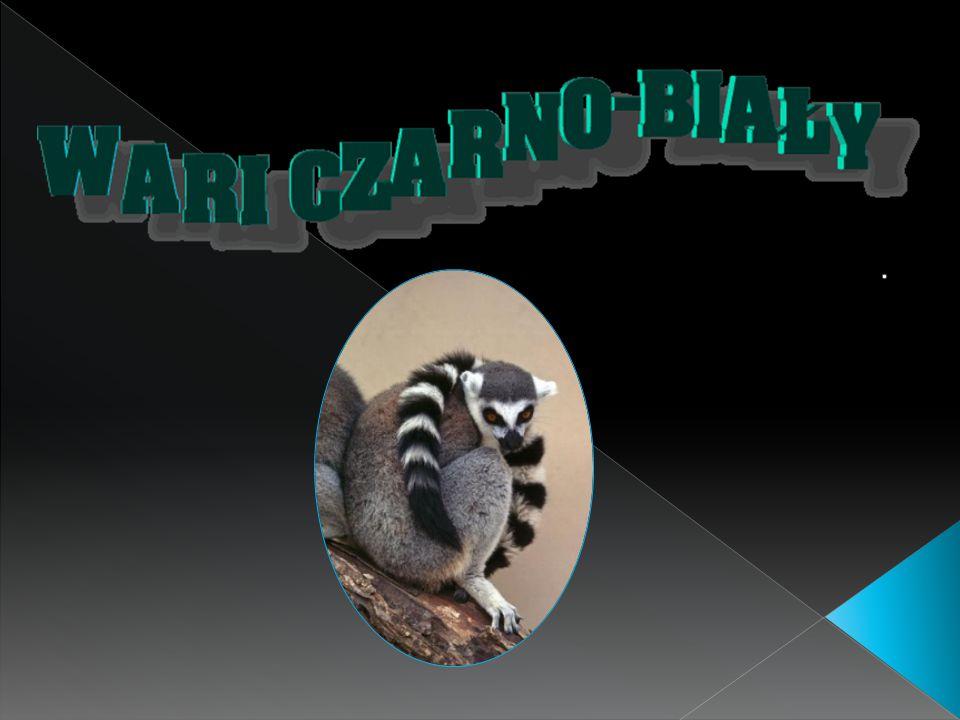  Lemury żyją tylko na odległym Madagaskarze, dużej wyspie obok Afryki, gdzie występują gatunki endemiczne zwierząt i roślin.