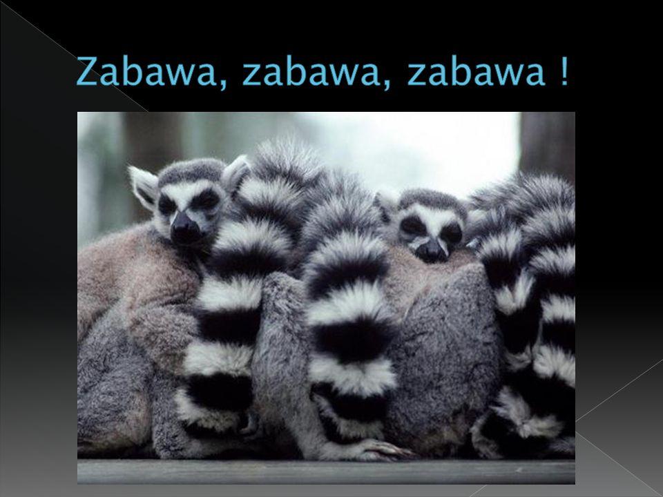  Kiedy wyspa oddzieliła się od dzisiejszej Afryki, odpłynęły na nią lemury.