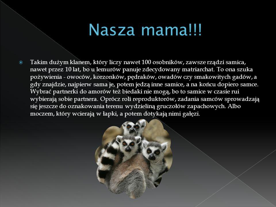  Takim dużym klanem, który liczy nawet 100 osobników, zawsze rządzi samica, nawet przez 10 lat, bo u lemurów panuje zdecydowany matriarchat. To ona s