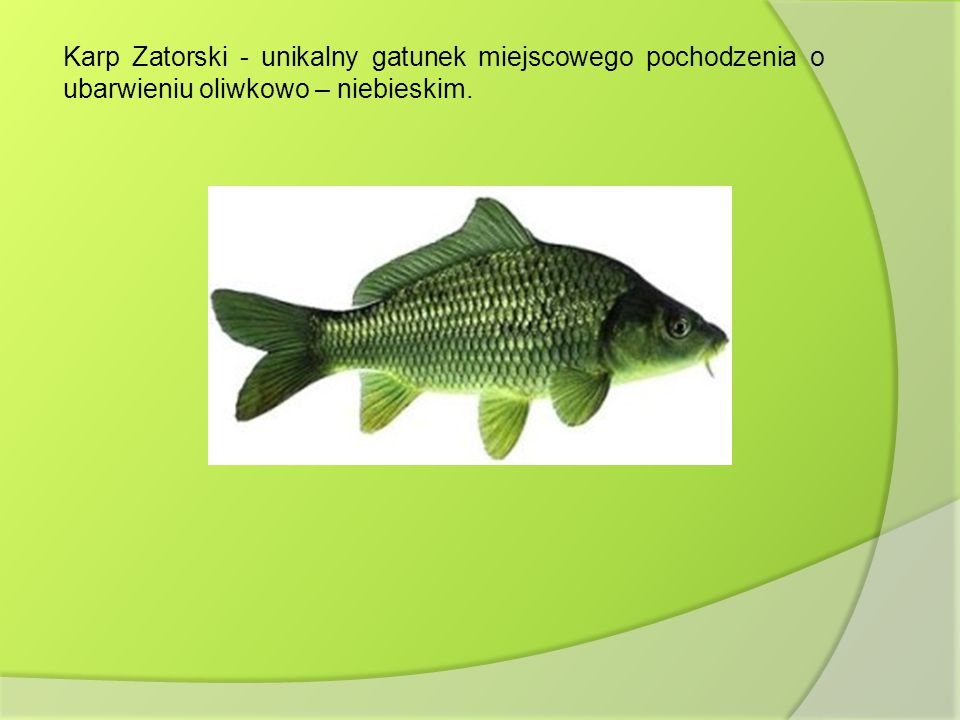 Karp Zatorski - unikalny gatunek miejscowego pochodzenia o ubarwieniu oliwkowo – niebieskim.