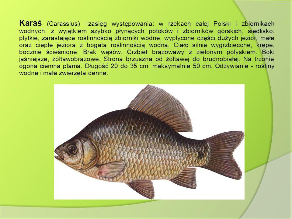 Karaś (Carassius) –zasięg występowania: w rzekach całej Polski i zbiornikach wodnych, z wyjątkiem szybko płynących potoków i zbiorników górskich, sied