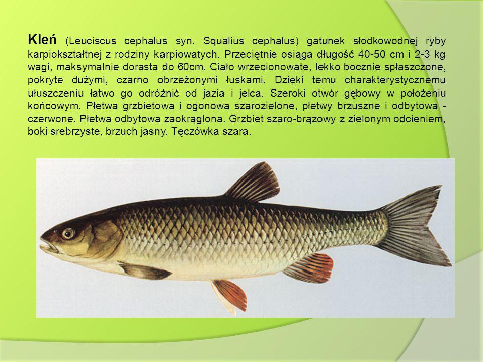 Kleń (Leuciscus cephalus syn. Squalius cephalus) gatunek słodkowodnej ryby karpiokształtnej z rodziny karpiowatych. Przeciętnie osiąga długość 40-50 c