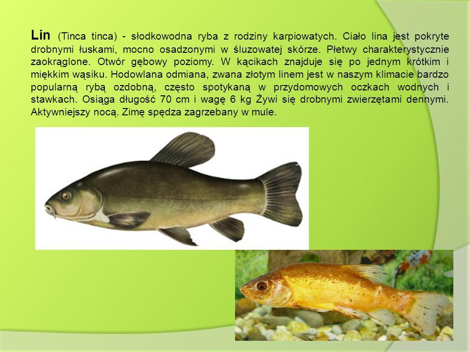 Lin (Tinca tinca) - słodkowodna ryba z rodziny karpiowatych. Ciało lina jest pokryte drobnymi łuskami, mocno osadzonymi w śluzowatej skórze. Płetwy ch