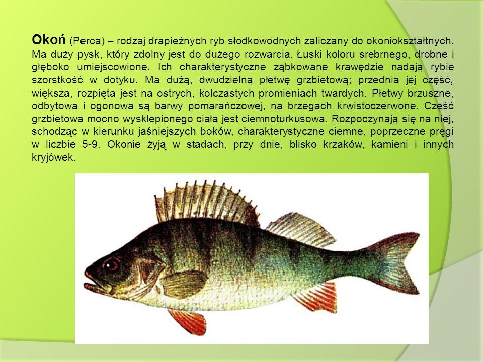 Okoń (Perca) – rodzaj drapieżnych ryb słodkowodnych zaliczany do okoniokształtnych. Ma duży pysk, który zdolny jest do dużego rozwarcia. Łuski koloru