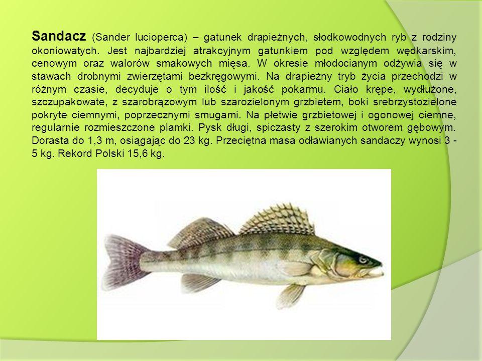 Sandacz (Sander lucioperca) – gatunek drapieżnych, słodkowodnych ryb z rodziny okoniowatych. Jest najbardziej atrakcyjnym gatunkiem pod względem wędka