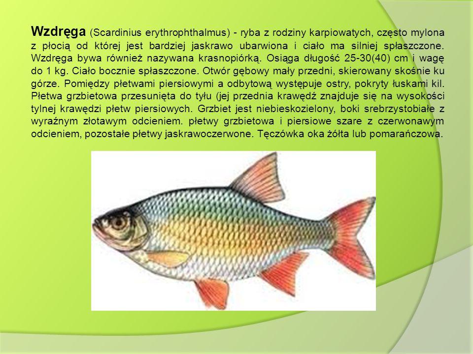 Wzdręga (Scardinius erythrophthalmus) - ryba z rodziny karpiowatych, często mylona z płocią od której jest bardziej jaskrawo ubarwiona i ciało ma siln