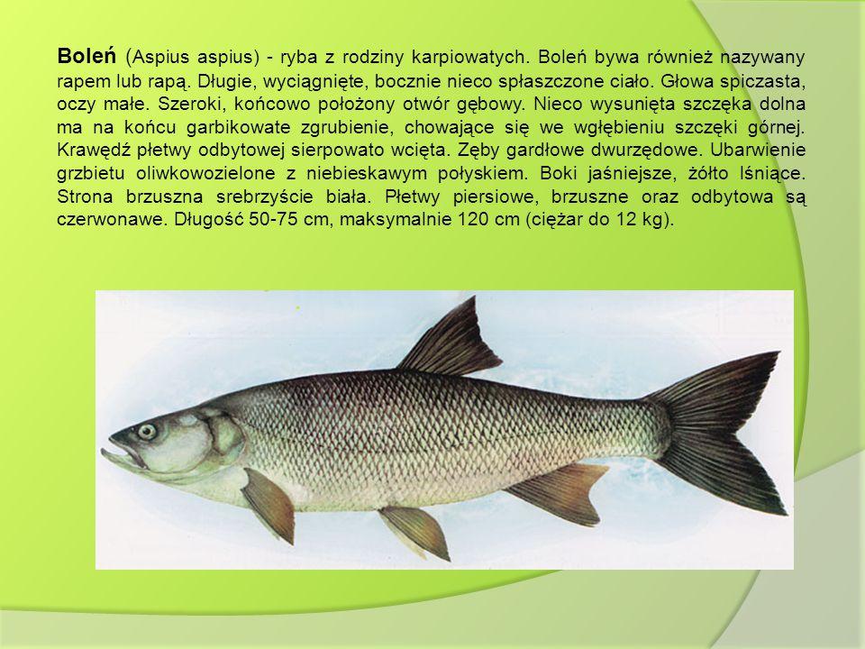 Boleń ( Aspius aspius) - ryba z rodziny karpiowatych. Boleń bywa również nazywany rapem lub rapą. Długie, wyciągnięte, bocznie nieco spłaszczone ciało