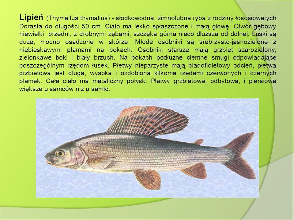 Lipień (Thymallus thymallus) - słodkowodna, zimnolubna ryba z rodziny łososiowatych Dorasta do długości 50 cm. Ciało ma lekko spłaszczone i małą głowę