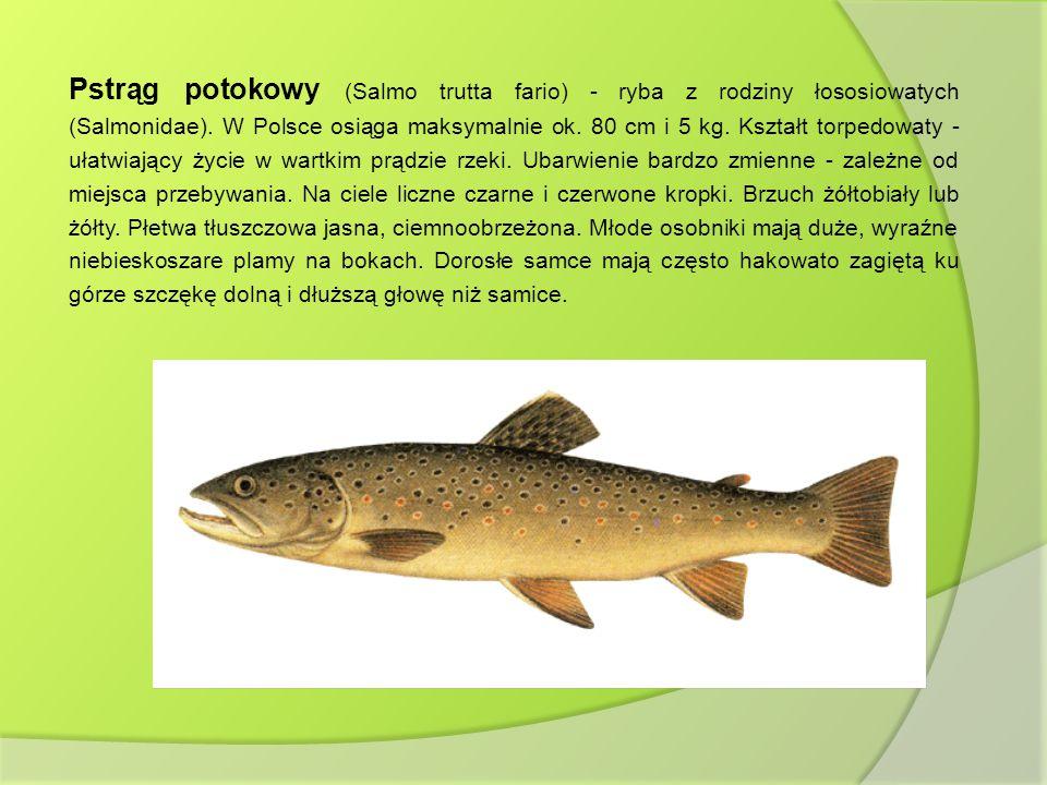 Pstrąg potokowy (Salmo trutta fario) - ryba z rodziny łososiowatych (Salmonidae). W Polsce osiąga maksymalnie ok. 80 cm i 5 kg. Kształt torpedowaty -