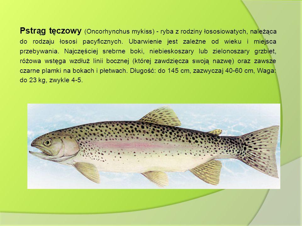 Pstrąg tęczowy (Oncorhynchus mykiss) - ryba z rodziny łososiowatych, należąca do rodzaju łososi pacyficznych. Ubarwienie jest zależne od wieku i miejs