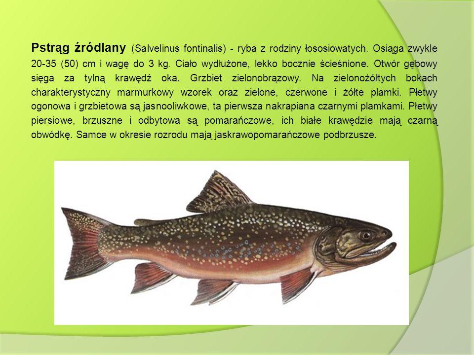 Pstrąg źródlany (Salvelinus fontinalis) - ryba z rodziny łososiowatych. Osiąga zwykle 20-35 (50) cm i wagę do 3 kg. Ciało wydłużone, lekko bocznie ści