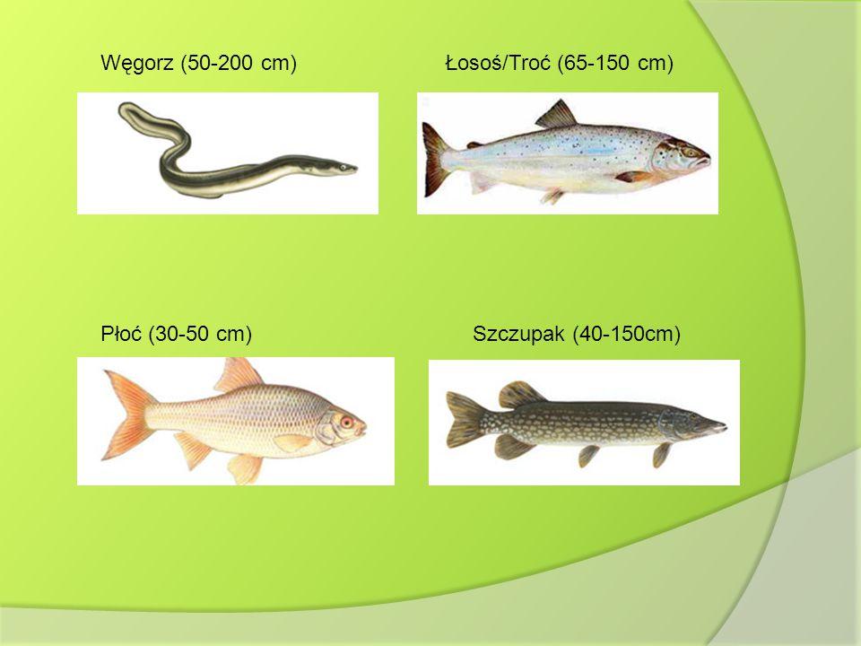 Węgorz (50-200 cm)Łosoś/Troć (65-150 cm) Płoć (30-50 cm)Szczupak (40-150cm)