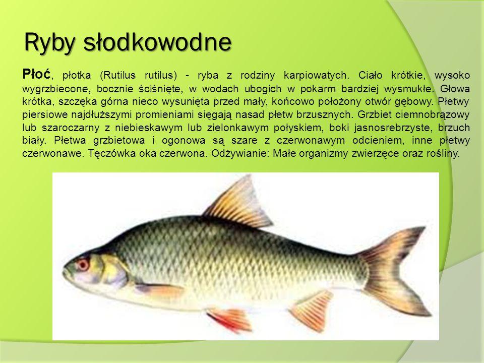 Ryby słodkowodne Płoć, płotka (Rutilus rutilus) - ryba z rodziny karpiowatych. Ciało krótkie, wysoko wygrzbiecone, bocznie ściśnięte, w wodach ubogich