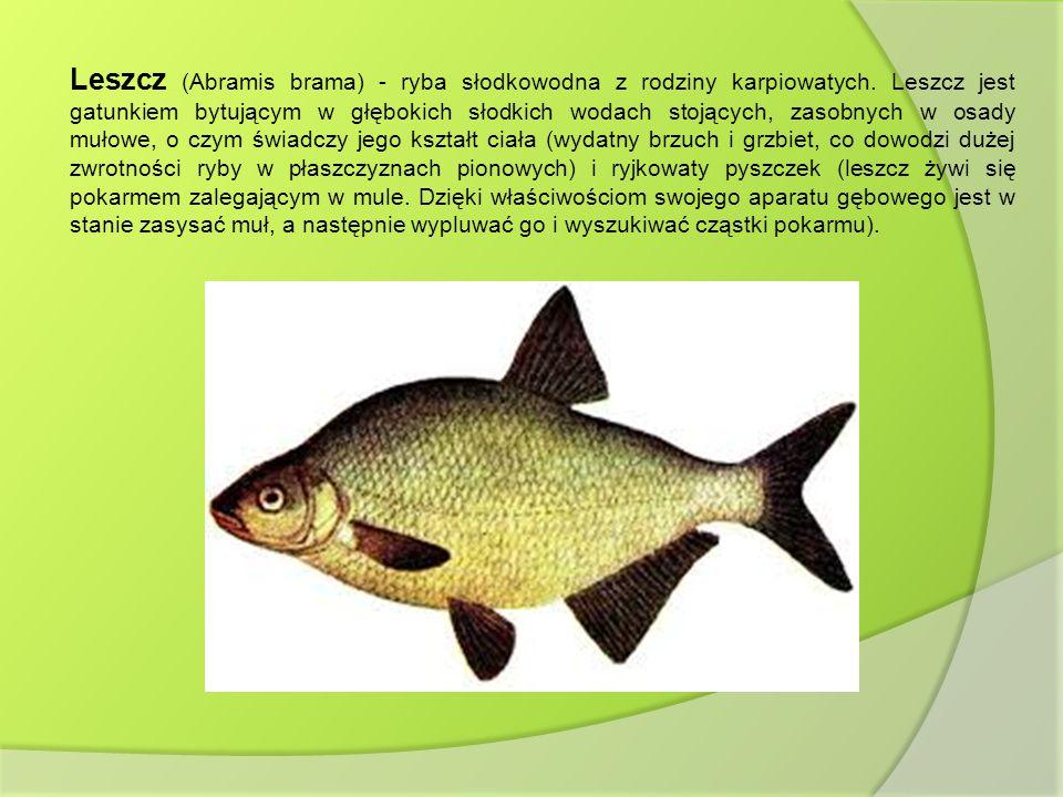 Leszcz (Abramis brama) - ryba słodkowodna z rodziny karpiowatych. Leszcz jest gatunkiem bytującym w głębokich słodkich wodach stojących, zasobnych w o