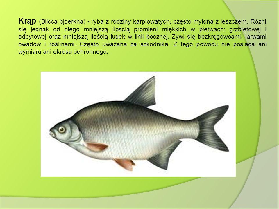 Krąp ( Blicca bjoerkna) - ryba z rodziny karpiowatych, często mylona z leszczem. Różni się jednak od niego mniejszą ilością promieni miękkich w płetwa
