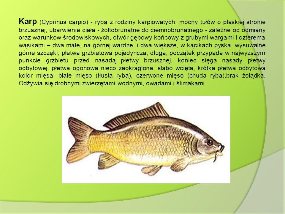 Karp (Cyprinus carpio) - ryba z rodziny karpiowatych. mocny tułów o płaskiej stronie brzusznej, ubarwienie ciała - żółtobrunatne do ciemnobrunatnego -