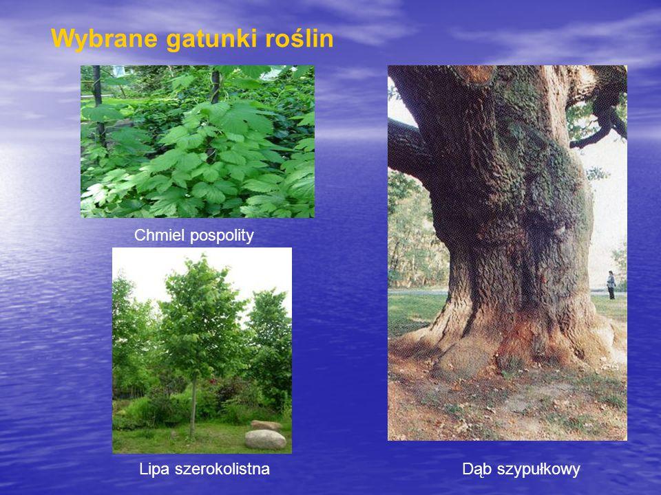 Chmiel pospolity Lipa szerokolistnaDąb szypułkowy Wybrane gatunki roślin