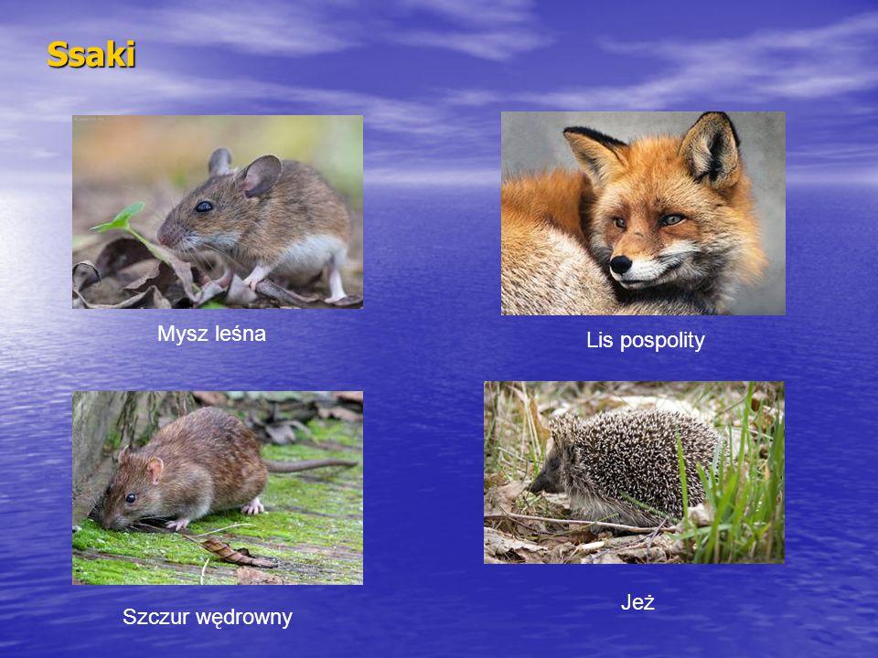 Ssaki Lis pospolity Mysz leśna Szczur wędrowny Jeż