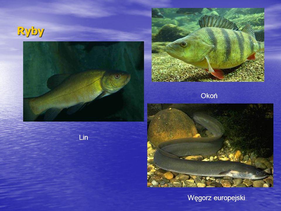 Ryby Lin Okoń Węgorz europejski