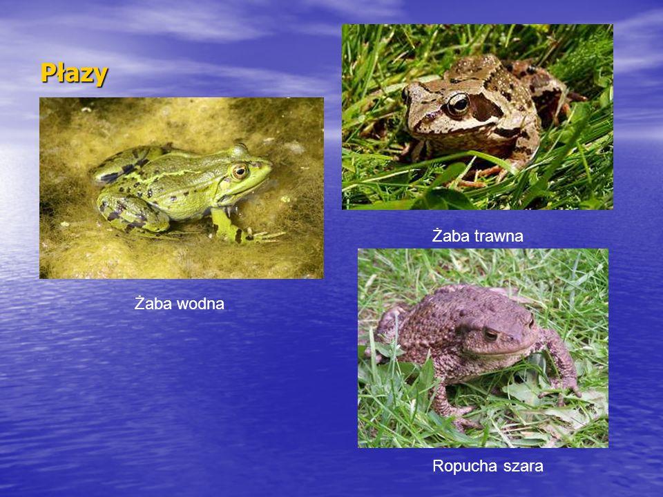 Płazy Żaba wodna Żaba trawna Ropucha szara