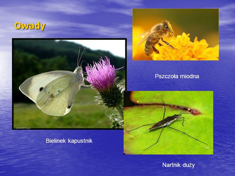 Owady Bielinek kapustnik Pszczoła miodna Nartnik duży