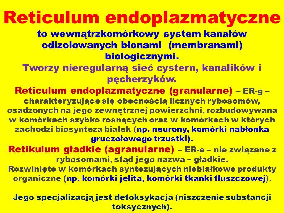 Reticulum endoplazmatyczne to wewnątrzkomórkowy system kanałów odizolowanych błonami (membranami) biologicznymi. Tworzy nieregularną sieć cystern, kan