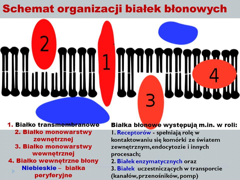 Schemat organizacji białek błonowych 1. Białko transmembranowe 2. Białko monowarstwy zewnętrznej 3. Białko monowarstwy wewnętrznej 4. Białko wewnętrzn