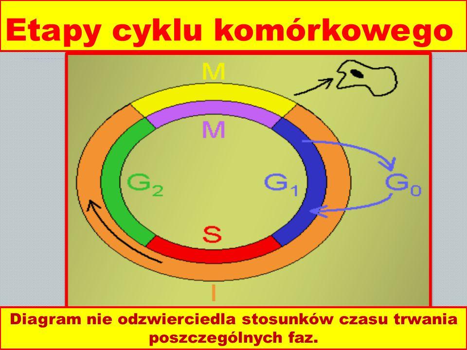 Etapy cyklu komórkowego Diagram nie odzwierciedla stosunków czasu trwania poszczególnych faz.
