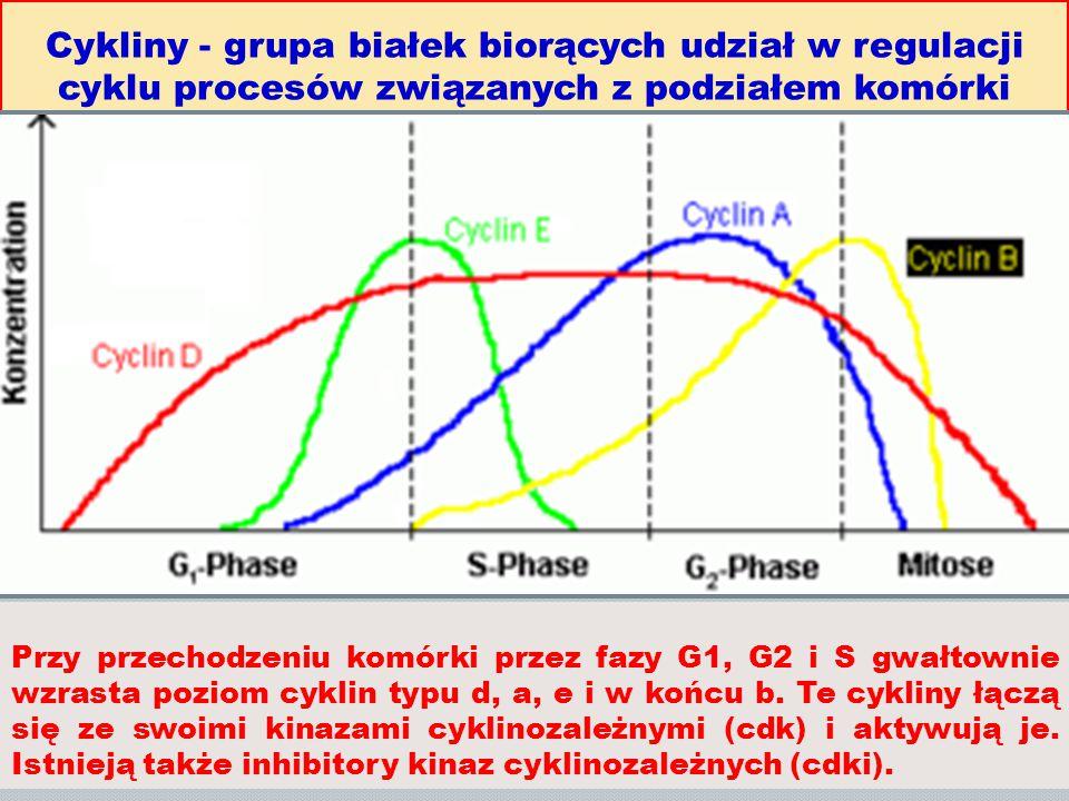 Cykliny - grupa białek biorących udział w regulacji cyklu procesów związanych z podziałem komórki Przy przechodzeniu komórki przez fazy G1, G2 i S gwa